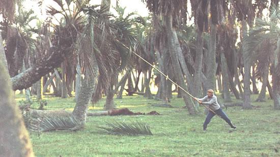 Alfeo Acosta cortando hojas de palma (Foto: N.Rocha).